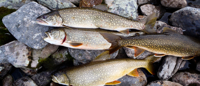 Lake trout from Waterbury Lake<br>Photo courtesy of CanNorth